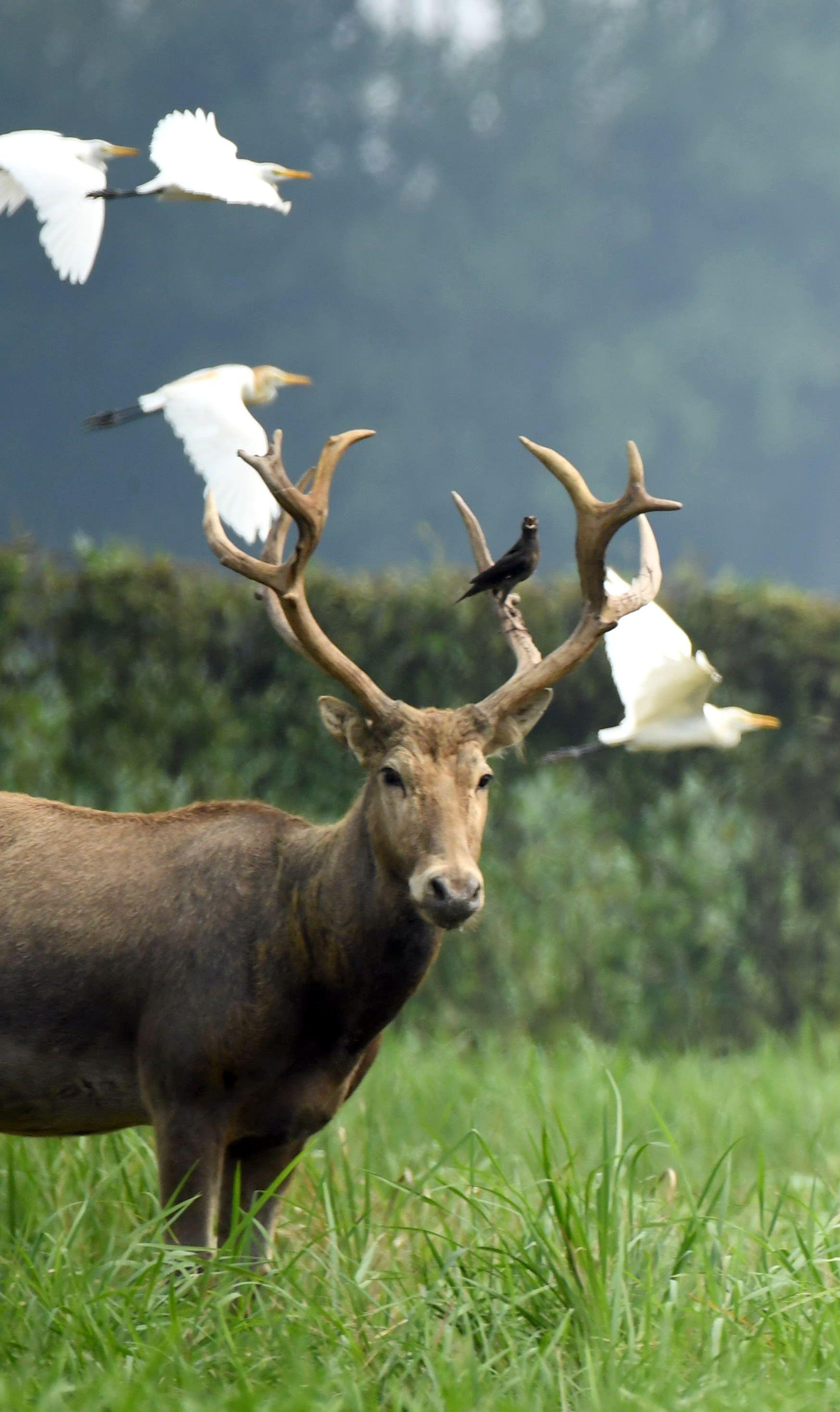 白描麋鹿步骤图